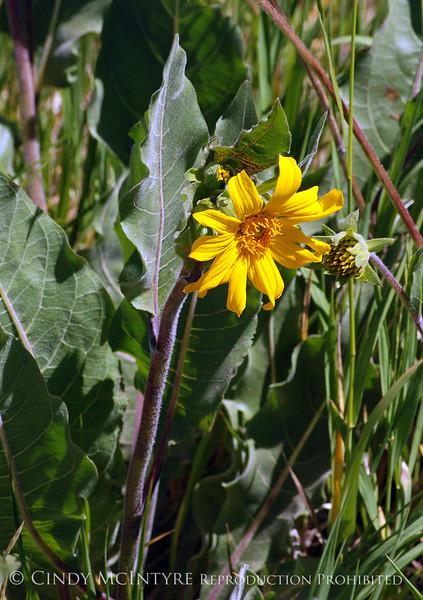 Arrowleaf Balsamroot, Mesa Verde NP (2)