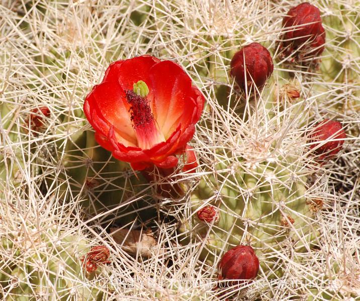 Claret Cup Cactus Mesa Verde (3)