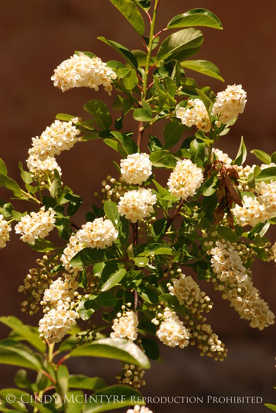 Chokecherry blossoms (1)