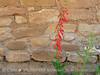Firecracker Penstemon at Sun Temple
