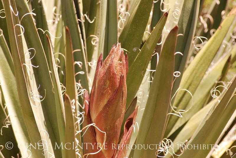 Broadleaf Yucca bud