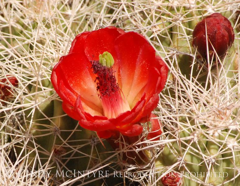 Claret Cup Cactus Mesa Verde (4)