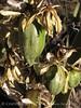 Broadleaf Yucca fruit (2)