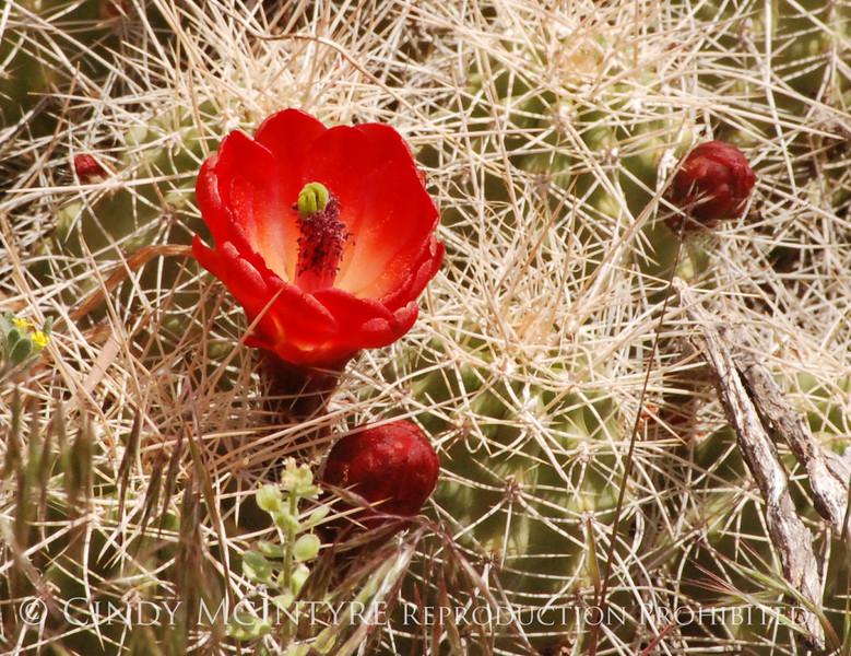 Claret Cup Cactus Mesa Verde