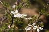 Cliff Fendlerbush blossoms (3)