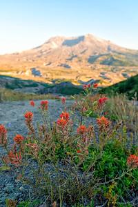 Mount St  Helens Sunset Flowers - Mount St  Helens
