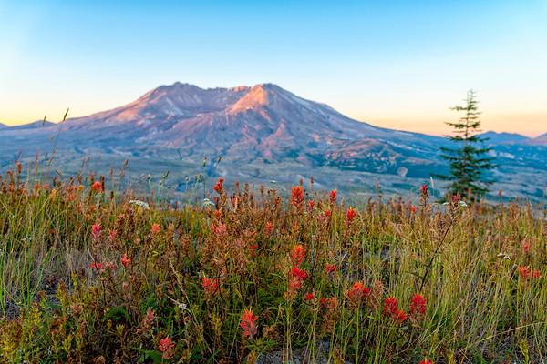 Mount St  Helens Sunrise Flowers - Mount St  Helens