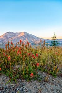 Mount St  Helens Sunrise Flowers - Mount St  Helens-2