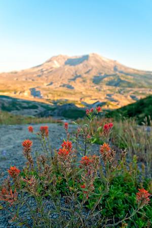 Mount St  Helens Sunset Flowers - Mount St  Helens-2