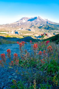 Mount St  Helens Flowers - Mount St  Helens-2