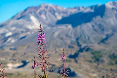 Mount St  Helens Flowers - Mount St  Helens