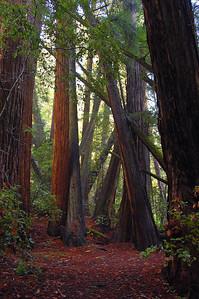 Crossing redwoods
