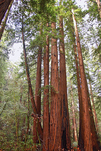 Redwoods grow tall