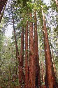 Redwoods grow tall