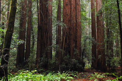 A stately stand of redwoods