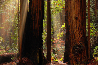 Sunbeams in the redwoods