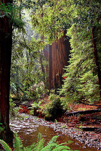 Creek and redwood forest