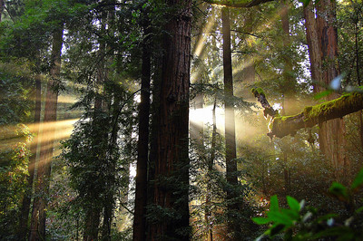 A glorious sunbeam shines into the redwoods