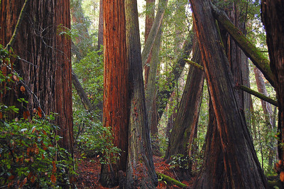 The redwoods are thick here