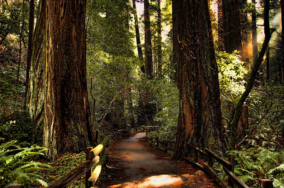 A path through the redwoods