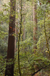 The forest is thick and dotted with redwoods