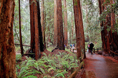 Thick redwoods and lots of moisture