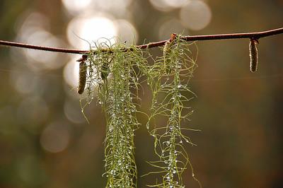 Delicate hanging moss