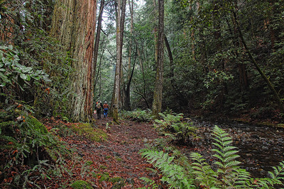 Redwoods, a stream and a walk