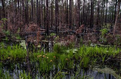 swamp-trees