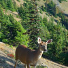 Black tailed deer, Huricane Ridge area, Olympic National Park.   October 2009