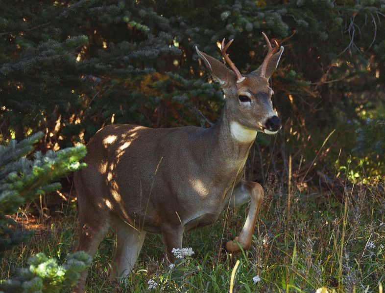 Black tailed deer, Hurricane Ridge area, Olympic National Park.    October 2009