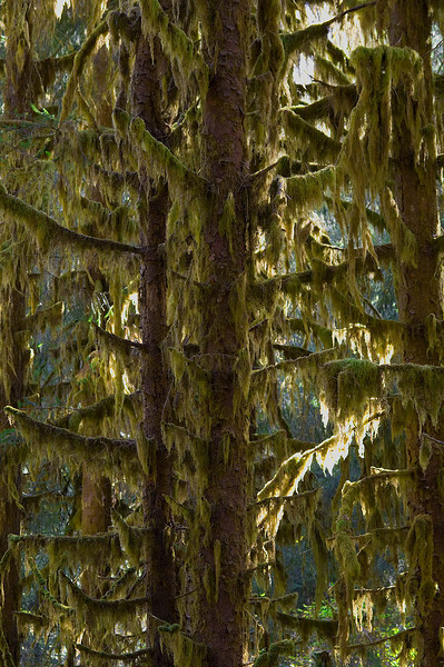 Hoh Rain Forest, Olympic National Park  October 2009