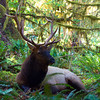 Rosevelt Elk, Hoh Rain Forest, Olympic National Park.  October 2009