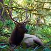 Rosevelt Elk, Hoh Rain Forest, Olympic National Park.  October 2009