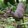 Black tailed deer, Barnes Creek, Olympic National Park.   October 2009