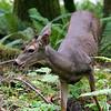 Black tailed deer, Barnes Creek, Olympic National Park.   October 2009