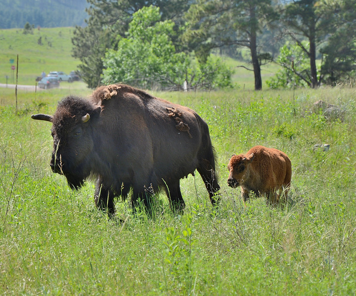 Black Hills Bison and Calf