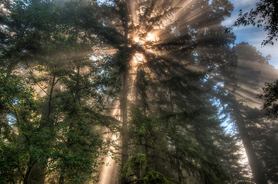 redwood-forest-sunbeams