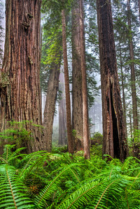 redwood-forest-ferns-2