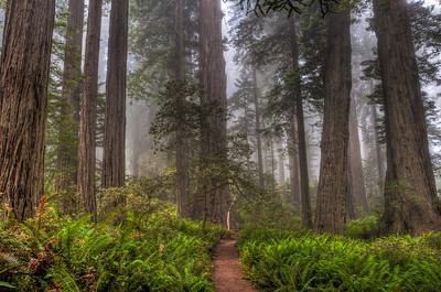 foggy-redwood-forest-hdr