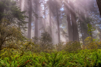 foggy-redwood-forest-hdr-2