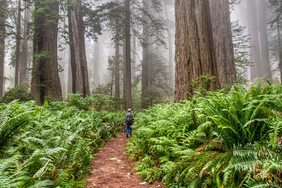 redwood-forest-path-hiking