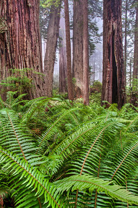 redwood-forest-ferns