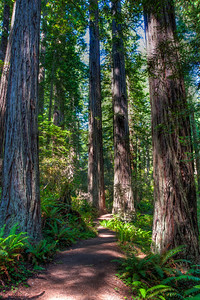 redwood-forest-path