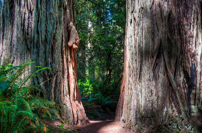 california-redwood-trunks