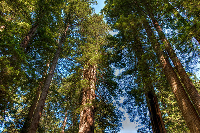 california-forest-redwoods
