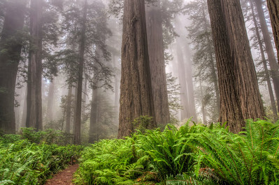 foggy-redwood-forest-4