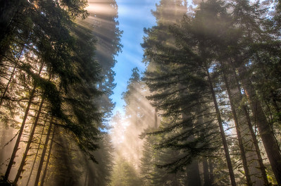 redwood-forest-sunbeams-2