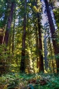 tall-redwood-trees