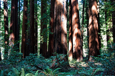 redwood-forest-tree-trunks